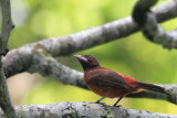 Crimson-backed Tanager (Ramphocelus dimidiatus) Female