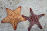 Starfish (Phylum Echinodermata)