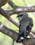 Tropical Mockingbird (Sinsonte Tropical)