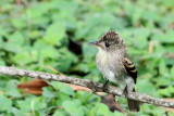 Eastern Wood Pewee (Pibi Orierntal)