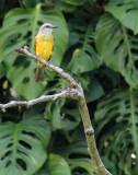 Tropical Kingbird in Omar Park