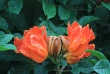 Llama del Bosque (Spathodea campanulata)