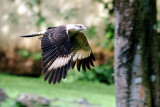 Yellow-headed Caracara in Flight