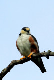 Pearl Kite, Gampsonyx swainsonii