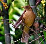 Clay-coloured Thrush (Turdus grayi)