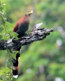 Squirrel Cuckoo in Panama