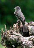 Eastern Wood Pewee (Pibi Orierntal)