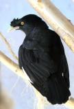 IMG_1718blackbird.JPG