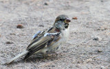 House Sparrow (Passer domesticus) Male Nonbreeding