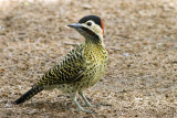 Green-barred Woodpecker (Colaptes melanochloros)