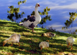 A Goose & Her Goslings