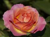 Rose from Rosedal Garden