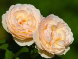 Rose in Rosedal Garden