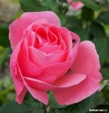 Rose in Midtown