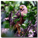 Red-tailed Falcon