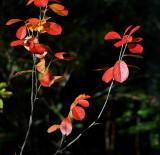 DSC02050 - Red Leaves in Sunlight