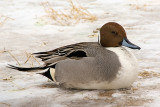 DSC02443 - Cold DuckNorthern Pintail
