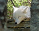 DSC03816 - Arctic Fox