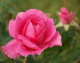 DSC04212 -  David Austin Cottage Rose