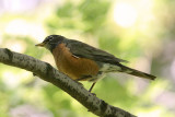 DSC07564 - Robin in the Shade