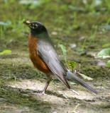 DSC07561 - Robin Posing