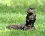DSC07577 - Black Squirrel Posing