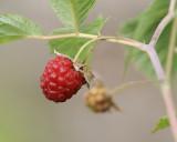 DSC09009 - Raspberry