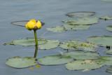 DSC09010 - Yellow Pond Lily
