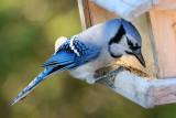 DSC09742 - Blue Jay