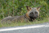 DSC09237 - Fox by the Side of the Road