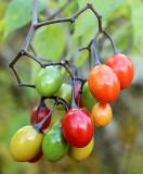 DSC09954 - Woody Nightshade Berries