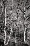 DSC00062 - Autumn Birches
