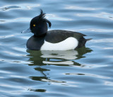 DSC00514 - Tufted Duck