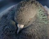 DSC00550 - Huddled Pigeon