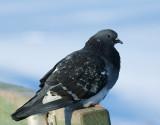 DSC00568 - Lowly Pigeon