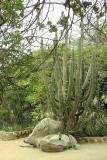 DSC01272 - Cactus plant at Casibari