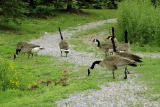 More Canada Geese