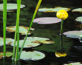 Water Lily 005