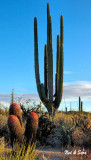 red barrels and a  large cardon cactus