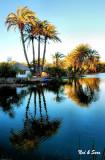 date palm  reflection