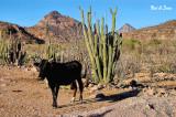 rancher's steer