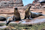 a pair of  stellar sea lions