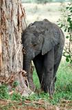young elephant rubbing a baobob tree