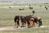 wildebeest with young