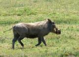 a particularly beautiful warthog