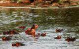 hippos in the Grumeti river