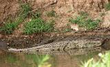 crocodile in the Grumeti river
