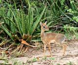 the elusive Dik-Dik