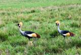 Crown Cranes