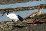 Sacred Ibis and Egyptian Goose